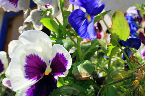 Pansies at Y Stabl